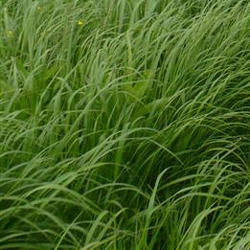Welcome to clark seeds inc for Large perennial grasses